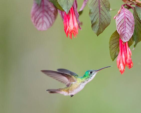 Andean Emerald Hummingbird from Ecuador