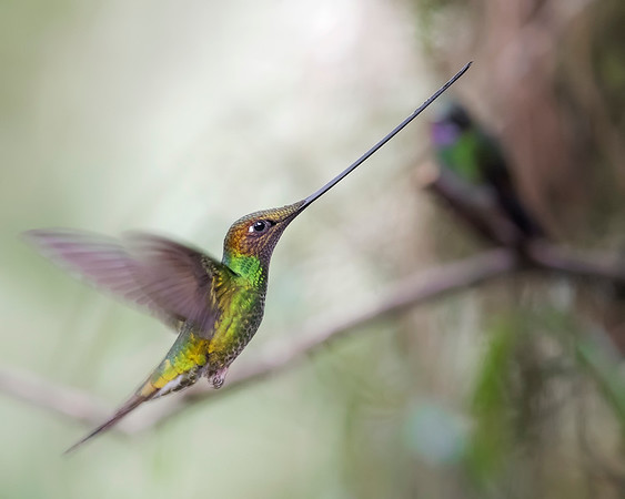 Sword-billed Hummingbird from Ecuador