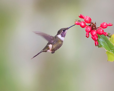 Purple-throated Woodstar Hummingbird from Ecuador