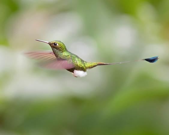 Booted Racket-tail Hummingbird from Ecuador
