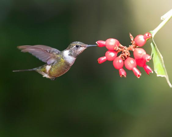 Purple-throated Woodstar Hummingbird from Ecuador