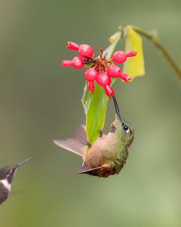 Fawn-breasted Brilliant Hummingbird from Ecuador