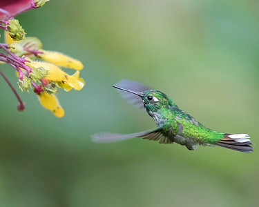 Purple-bibbed White-tip Hummingbird from Ecuador