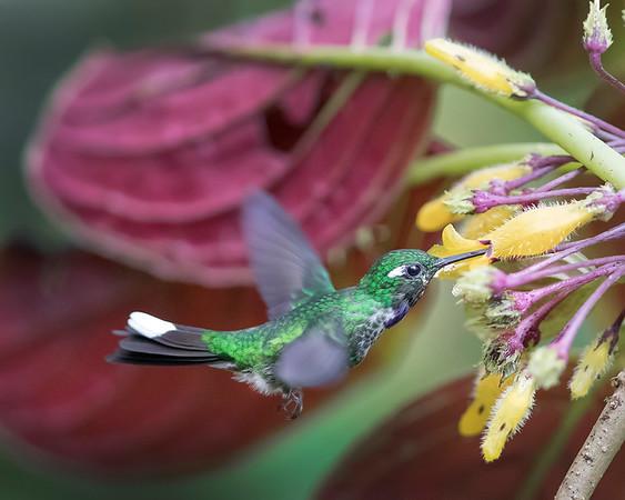 Purple-bibbed White-tip Hummingbird from Ecuador
