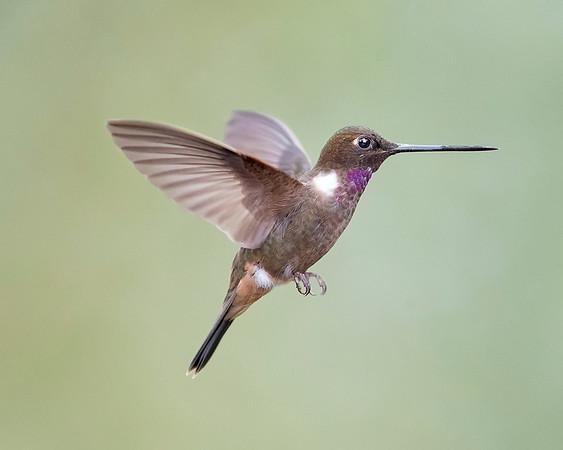 Brown Inca Hummingbird from Ecuador