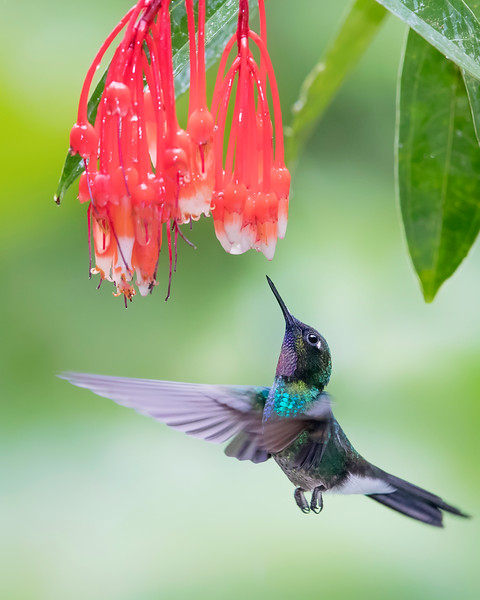Tourmaline Sunangel Hummingbird from Ecuador
