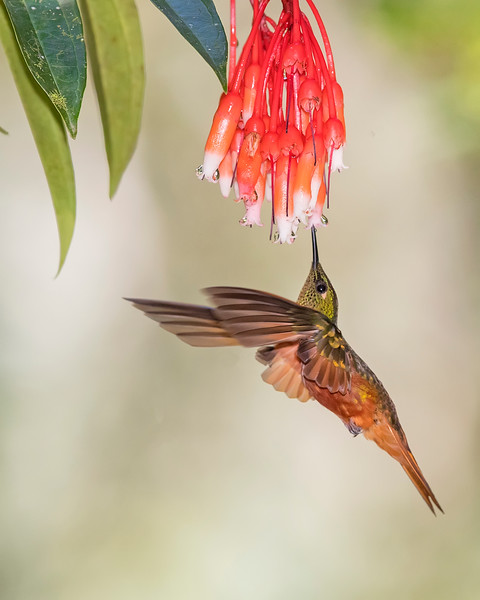 Chestnut-breasted Hummingbird from Ecuador