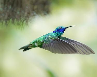 Sparkling Violetear Hummingbird from Ecuador