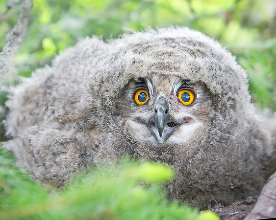 This photograph of a Eurasian Eagle Owl chick was captured in the Oulu area of Finland (6/15). This photograph is protected by International and U.S. Copyright Laws and shall not to be downloaded or reproduced by any means without the formal written permission of Ken Conger Photography.