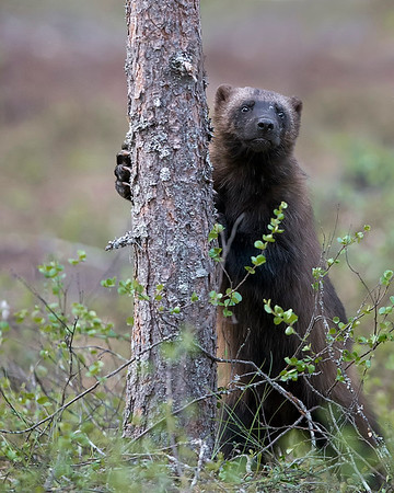 This photograph of a Wolverine was captured south of Lieksa in Finland (6/15). This photograph is protected by International and U.S. Copyright Laws and shall not to be downloaded or reproduced by any means without the formal written permission of Ken Conger Photography.