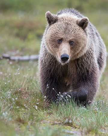 This photograph of a Brown Bear was captured in the Kuhmo area of Finland (6/15). This photograph is protected by International and U.S. Copyright Laws and shall not to be downloaded or reproduced by any means without the formal written permission of Ken Conger Photography.