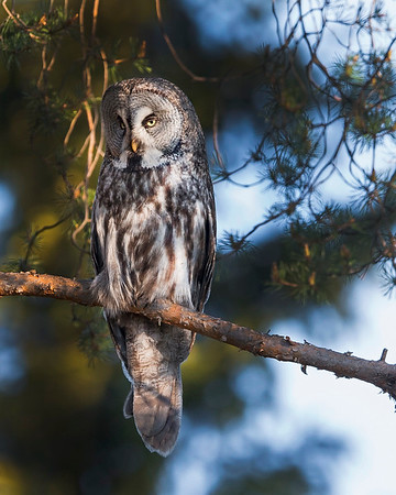This photograph of a Great Grey Owl was captured in the Oulu area of Finland (6/15). This photograph is protected by International and U.S. Copyright Laws and shall not to be downloaded or reproduced by any means without the formal written permission of Ken Conger Photography.