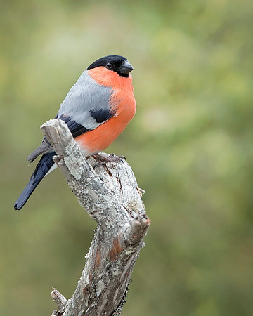 This photograph of a male Eurasian Bull Finch was captured south of Lieksa in Finland (6/15). This photograph is protected by International and U.S. Copyright Laws and shall not to be downloaded or reproduced by any means without the formal written permission of Ken Conger Photography.