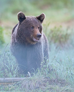 This photograph of a Brown Bear was captured south of Lieksa in Finland (6/15). This photograph is protected by International and U.S. Copyright Laws and shall not to be downloaded or reproduced by any means without the formal written permission of Ken Conger Photography.