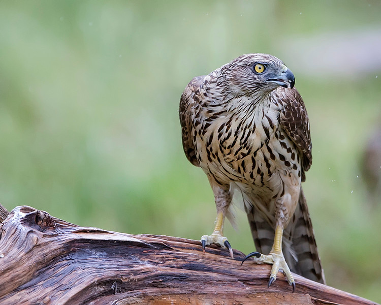 This photograph of a female Goshawk was captured south of Lieksa in Finland (6/15). This photograph is protected by International and U.S. Copyright Laws and shall not to be downloaded or reproduced by any means without the formal written permission of Ken Conger Photography.