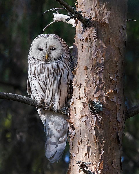 This photograph of a Ural Owl was captured in the Oulu area of Finland (6/15). This photograph is protected by International and U.S. Copyright Laws and shall not to be downloaded or reproduced by any means without the formal written permission of Ken Conger Photography.