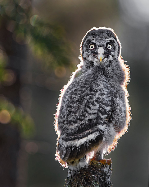 This photograph of a Great Grey Owl chick was captured in the Oulu area of Finland (6/15). This photograph is protected by International and U.S. Copyright Laws and shall not to be downloaded or reproduced by any means without the formal written permission of Ken Conger Photography.
