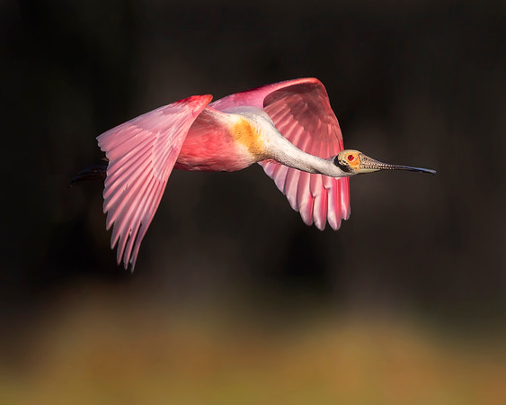 Myakka State Park Roseate Spoonbill