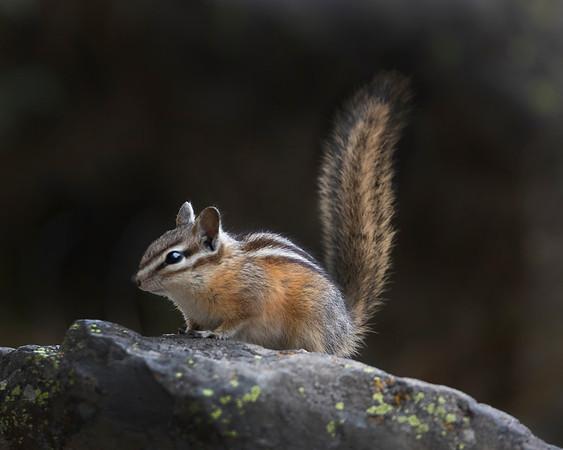 Yellowstone National Park Least Chipmunk