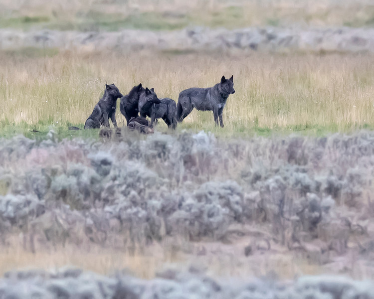 Yellowstone National Park Wolves
