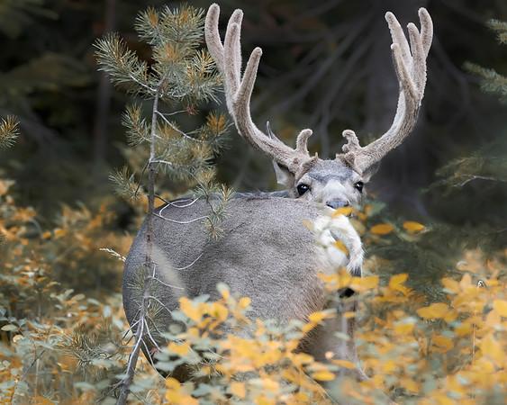 Grand Teton National Park Blacktail Deer