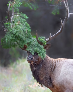 Yellowstone Natoinal Park Elk
