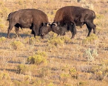 Yellowstone Nartional Park Battling Bison