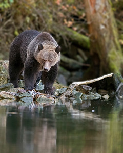 This photograph of a Grizzly Bear was captured in the Great Bear Rainforest, British Columbia, Canada (10/12).  This photograph is protected by the U.S. Copyright Laws and shall not to be downloaded or reproduced by any means without the formal written permission of Ken Conger Photography.