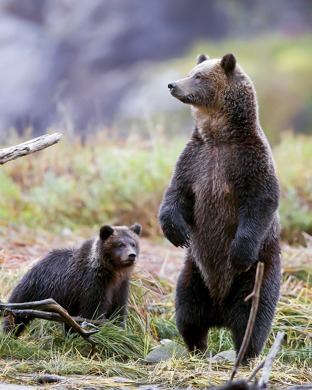 This photograph of a Grizzly Bear Sow and her cub was captured in the Great Bear Rainforest, British Columbia, Canada (10/12).  This photograph is protected by the U.S. Copyright Laws and shall not to be downloaded or reproduced by any means without the formal written permission of Ken Conger Photography.