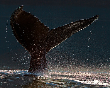 This photograph of a Humpback Whale tail was captured in the Great Bear Rainforest, British Columbia, Canada (10/12).  This photograph is protected by the U.S. Copyright Laws and shall not to be downloaded or reproduced by any means without the formal written permission of Ken Conger Photography.