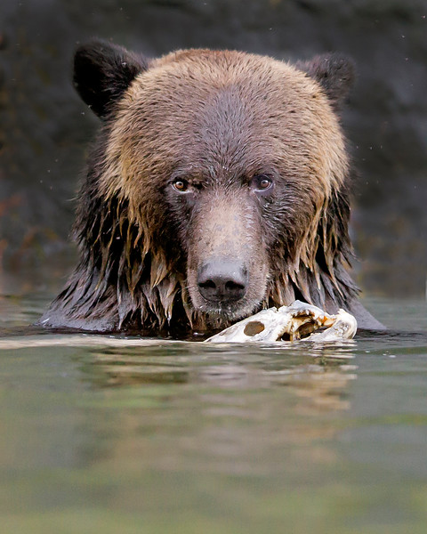 This photograph of a Grizzly Bear, feasting on a spawned Chum Salmon, was captured in the Great Bear Rainforest, British Columbia, Canada (10/12).  This photograph is protected by the U.S. Copyright Laws and shall not to be downloaded or reproduced by any means without the formal written permission of Ken Conger Photography.