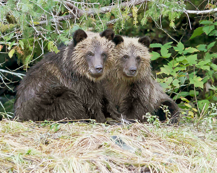 This photograph of a Grizzly Bear cubs was captured in the Great Bear Rainforest, British Columbia, Canada (10/12).  This photograph is protected by the U.S. Copyright Laws and shall not to be downloaded or reproduced by any means without the formal written permission of Ken Conger Photography.