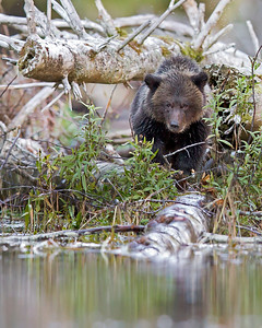 This photograph of a Grizzly Bear Cub was captured in the Great Bear Rainforest, British Columbia, Canada (10/12).  This photograph is protected by the U.S. Copyright Laws and shall not to be downloaded or reproduced by any means without the formal written permission of Ken Conger Photography.
