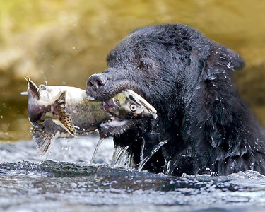 This photograph of a Black Bear with a recently caught Chum Salmon was captured in the Great Bear Rainforest, British Columbia, Canada (10/12).  This photograph is protected by the U.S. Copyright Laws and shall not to be downloaded or reproduced by any means without the formal written permission of Ken Conger Photography.