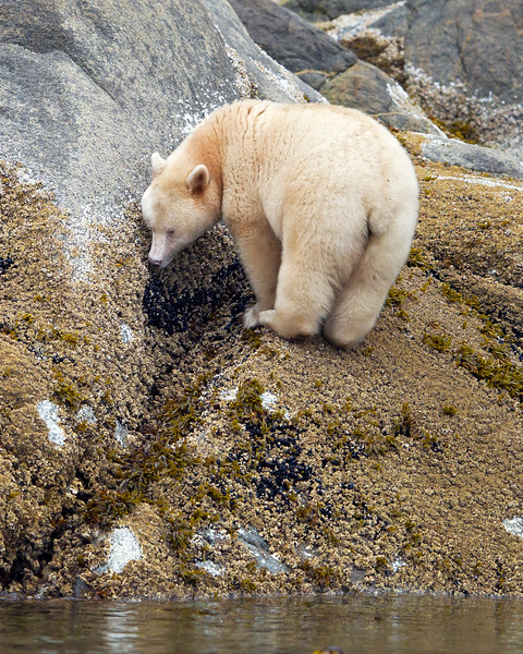 This photograph of a Spirit Bear or Kermode Bear feeding on shoreline mussels was captured in the Great Bear Rainforest, British Columbia, Canada (10/12).  This photograph is protected by the U.S. Copyright Laws and shall not to be downloaded or reproduced by any means without the formal written permission of Ken Conger Photography.