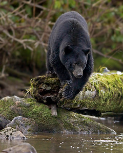 This photograph of a Black Bear descending from a mossy log was captured in the Great Bear Rainforest, British Columbia, Canada (10/12).  This photograph is protected by the U.S. Copyright Laws and shall not to be downloaded or reproduced by any means without the formal written permission of Ken Conger Photography.