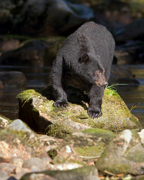 This photograph of a Black Bear was captured in the Great Bear Rainforest, British Columbia, Canada (10/12).  This photograph is protected by the U.S. Copyright Laws and shall not to be downloaded or reproduced by any means without the formal written permission of Ken Conger Photography.