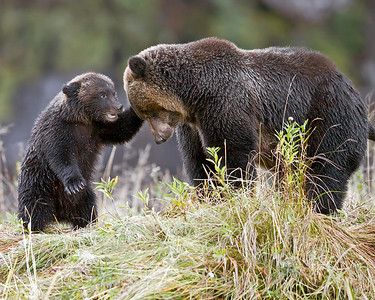 This photograph of a Grizzly Bear Sow and her cub interacting, was captured in the Great Bear Rainforest, British Columbia, Canada (10/12).  This photograph is protected by the U.S. Copyright Laws and shall not to be downloaded or reproduced by any means without the formal written permission of Ken Conger Photography.