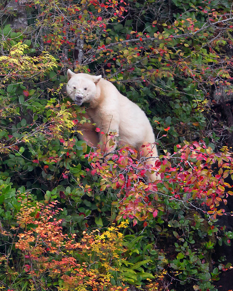 This photograph of a browsing Spirit Bear or Kermode Bear was captured in the Great Bear Rainforest, British Columbia, Canada (10/12).  This photograph is protected by the U.S. Copyright Laws and shall not to be downloaded or reproduced by any means without the formal written permission of Ken Conger Photography.