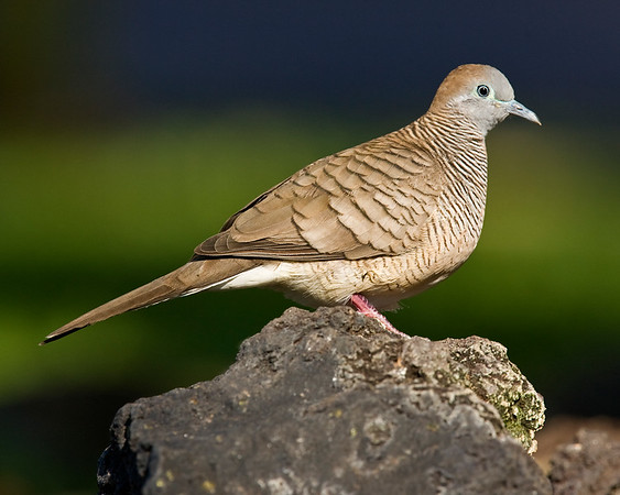 This photograph of a perched Zebra Dove was captured in the Kona area of Big Island, Hawaii (2/10).  This photograph is protected by the U.S. Copyright Laws and shall not to be downloaded or reproduced by any means without the formal written permission of Ken Conger Photography.