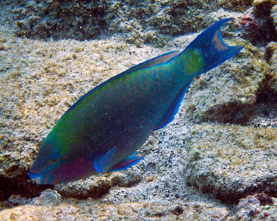 This photograph of a Palenose Parrotfish was captured in the Kona area of Big Island, Hawaii (2/10).   This photograph is protected by the U.S. Copyright Laws and shall not to be downloaded or reproduced by any means without the formal written permission of Ken Conger Photography.