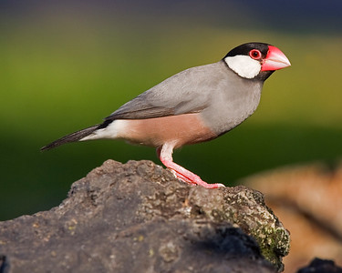 This photograph of a perched Java Finch was captured in the Kona area of Big Island, Hawaii (2/10).  This photograph is protected by the U.S. Copyright Laws and shall not to be downloaded or reproduced by any means without the formal written permission of Ken Conger Photography.