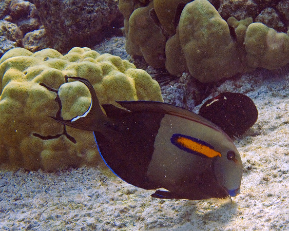 This photograph of a Orangeband Surgeonfish was captured in the Kona area of Big Island, Hawaii (2/10).   This photograph is protected by the U.S. Copyright Laws and shall not to be downloaded or reproduced by any means without the formal written permission of Ken Conger Photography.