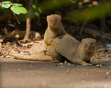 This photograph of a Mongoose pair was captured in the Kona area of Big Island, Hawaii (2/10).  This photograph is protected by the U.S. Copyright Laws and shall not to be downloaded or reproduced by any means without the formal written permission of Ken Conger Photography.