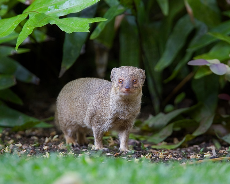 This photograph of a Mongoose was captured in the Kona area of Big Island, Hawaii (2/10).  This photograph is protected by the U.S. Copyright Laws and shall not to be downloaded or reproduced by any means without the formal written permission of Ken Conger Photography.