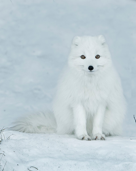 This photograph of an arctic fox was captured in Iceland (1/16). This photograph is protected by International and U.S. Copyright Laws and shall not to be downloaded or reproduced by any means without the formal written permission of Ken Conger Photography.