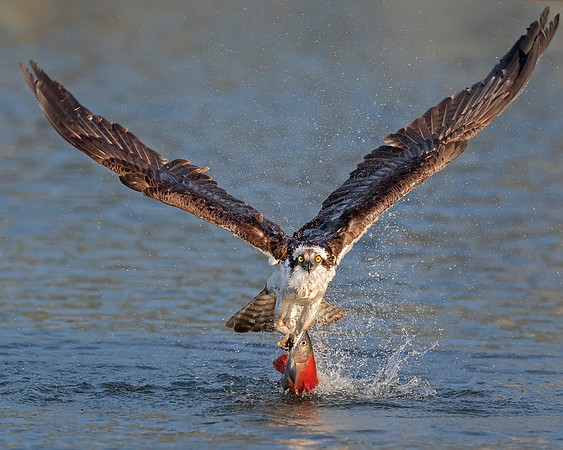Osprey catching Kokanee salmon