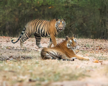 This photograph of a two Bengal Tigers was captured in Bandhavgrah National Park, India (5/14). This photograph is protected by the U.S. Copyright Laws and shall not to be downloaded or reproduced by any means without the formal written permission of Ken Conger Photography.