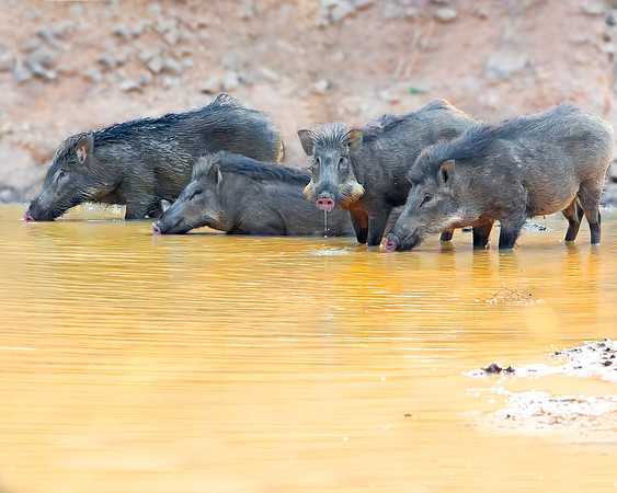This photograph of a group of wild boar was captured in Bandhavgrah National Park, India (5/14). This photograph is protected by the U.S. Copyright Laws and shall not to be downloaded or reproduced by any means without the formal written permission of Ken Conger Photography.