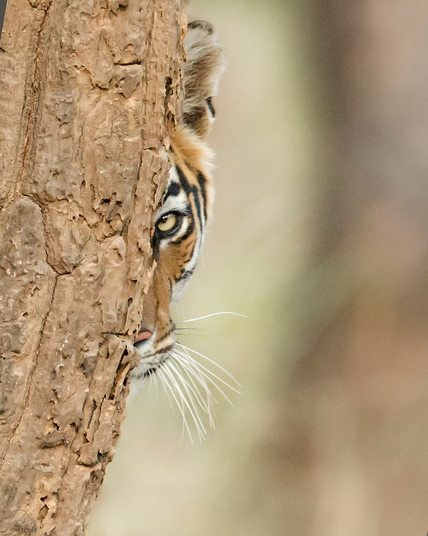 This photograph of a Bengal Tiger was captured in Bandhavgrah National Park, India (5/14). This photograph is protected by the U.S. Copyright Laws and shall not to be downloaded or reproduced by any means without the formal written permission of Ken Conger Photography.